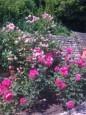 rosa damasceta